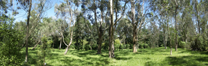 Panorama_eucalyptus_g.jpg