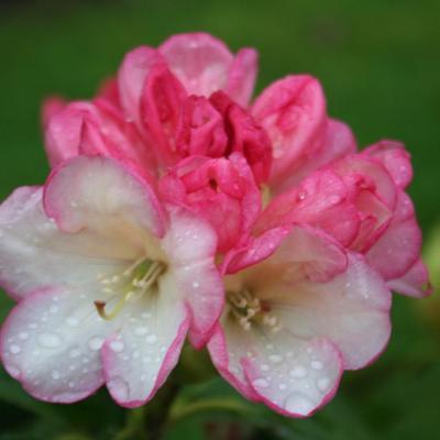 rhododendron-alutaceum-ssp-alutaceum-5.jpg