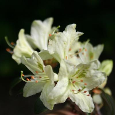 rhododendron-ambiguum-5.jpg
